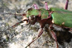 Grn sandjgare (Cicindela campestris)